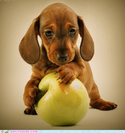 apple baby dachshund day dogs expression idiom possessive puppy puppy eyes - 5743514368