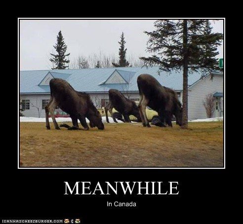 animals,Canada,moose,moose yoga,yoga