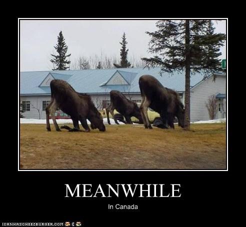 animals Canada moose yoga - 5743561472