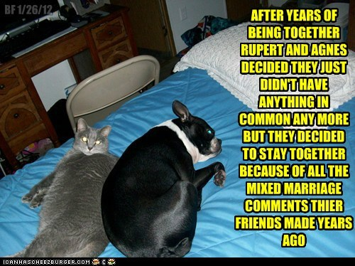 boston terrier,cat,friends,marriage,married,mixed marriage