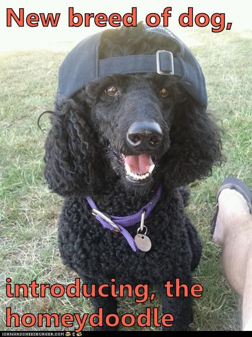 gangsta,gangster,hat,homey,new breed of dog,poodle