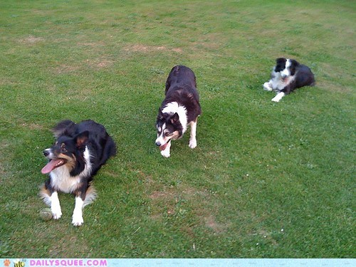 border collie border collies dogs family order reader squees sisters - 5746063360