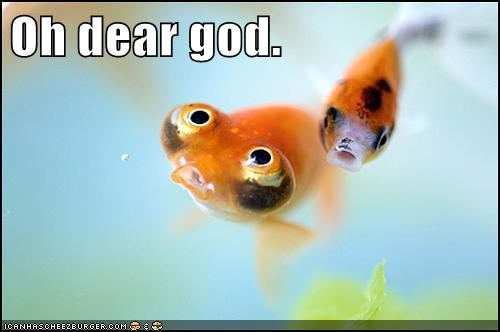 animals,bubble-eye goldfish,fish,goldfish,mother of god,oh dear god