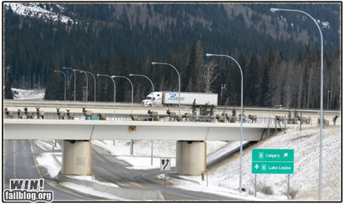 animals Canada freeway highway moose road block