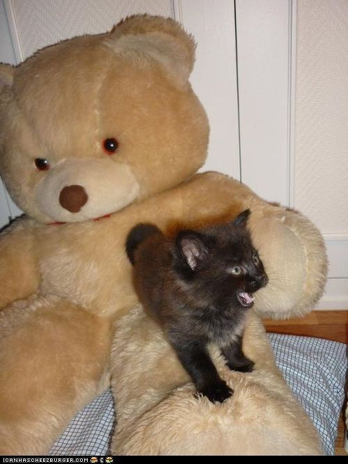 bears cyoot kitteh of teh day mouth open stuffed animals teddy bears yawning - 5747609088