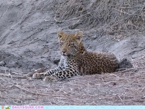 acceptable adage baby cub leopard lolwut pretty sameness sitting spots - 5748936448
