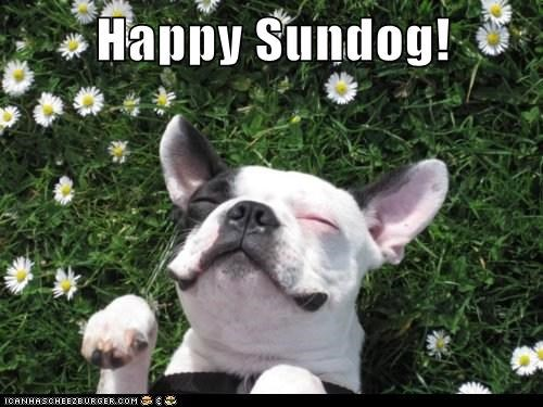 belly up,french bulldogs,good day,grass,happy dog,happy sundog,laying down,smiling,Sundog