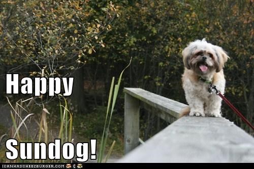adorable brigde happy dog happy sundog outdoors shih tzu smiling Sundog tongue tongue out walking on a bridge