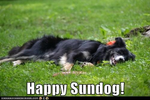 border collie fun grass happy dog happy sundog laying down outdoors smiling Sundog - 5751148032
