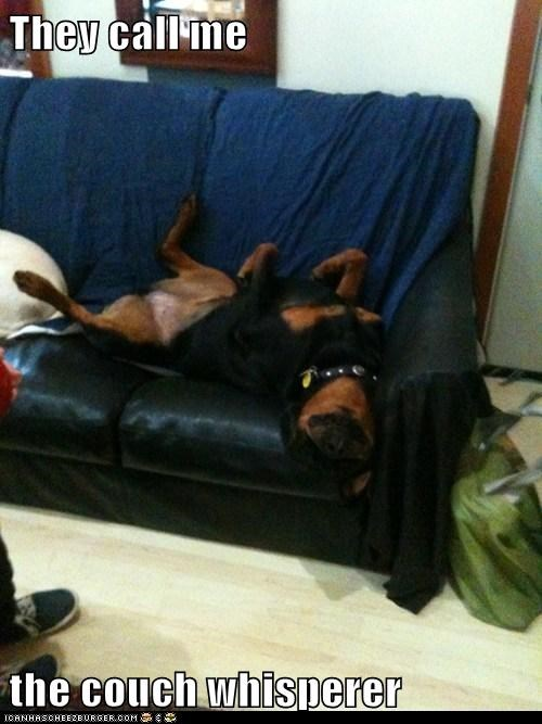 belly up couch resting rottweiler sleep sleeping tired - 5752130816