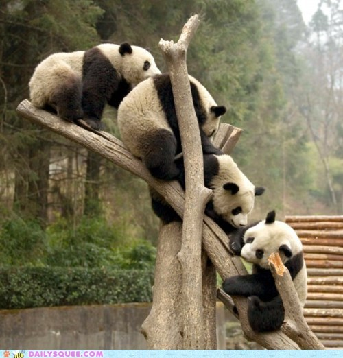 acting like animals answer cliché Hall of Fame joke panda panda bear panda bears question terrible - 5752694784