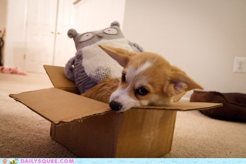 acting like animals box challenge competition corgi maru move over puppy - 5752703488