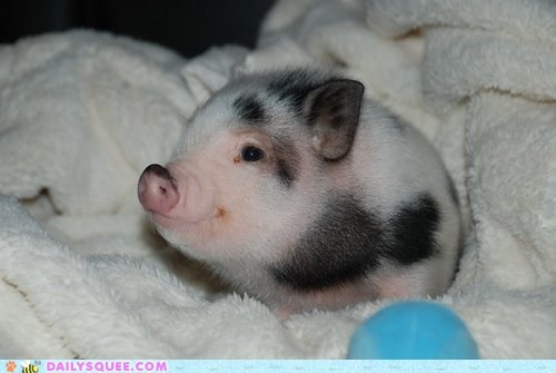 baby color Hall of Fame pig piglet spots spotted squee tiny