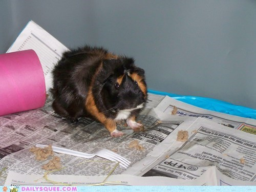 Area cage guinea pig playground playing pool reader squees - 5757484288