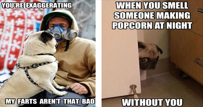dog memes of the pug variety