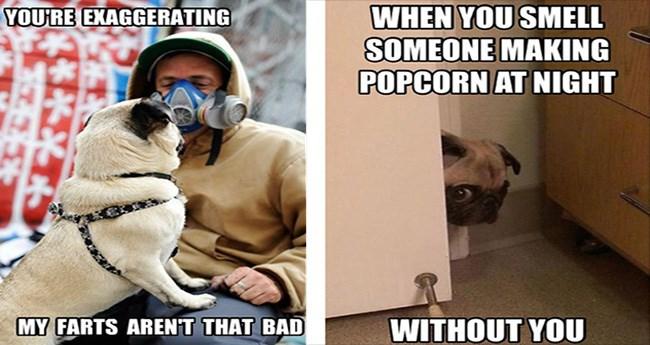 dog memes of the pug variety