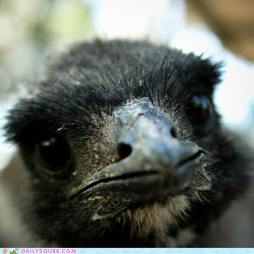 baby,camera,chick,closeup,curious,emu,examining,head,lens,pecking,squee spree,winner