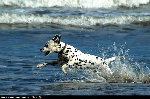 beach dalmatian goggie ob teh week having fun running swimming water - 5764437504