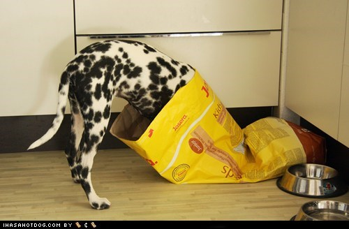 dalmatian dog food eat eating food goggie ob teh week hungry noms - 5764442880