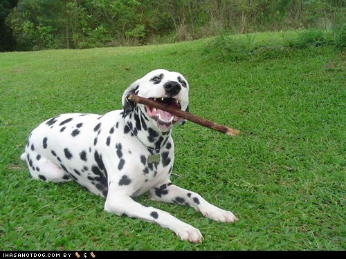dalmatian goggie ob teh week happy dog having fun outdoors outside stick - 5764448512