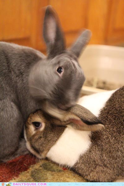 blurry bunnies bunny cuddle cuddling ears happy bunday headbutt inspecting question rabbit rabbits reader squees