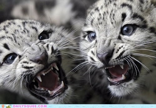 adorable Babies baby cub cubs ferocious Hall of Fame snow leopard snow leopards - 5766155264