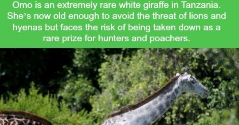 wtf funny facts funny true facts giraffe facts funny giraffes true facts - 5767429