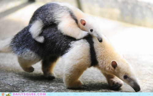 anteater,anteaters,baby,cowboy,grabbing,Hall of Fame,holding,mother,mount,ride,riding,steed