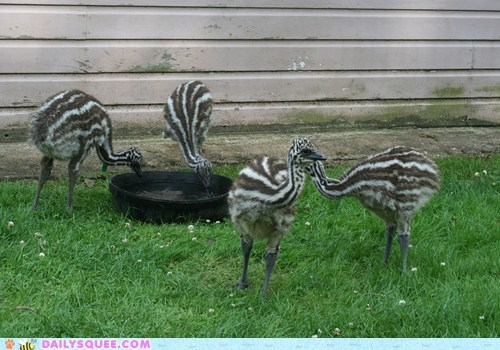 Babies baby emu emus four four of a kind hand poker squee spree