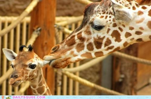 acting like animals,baby,biting,calf,ear,ears,giraffes,parent,stern,whisper