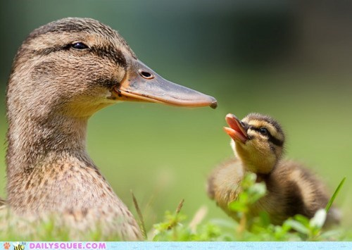 do want duck duckling ducks eager feeding food gross regurgitation waiting