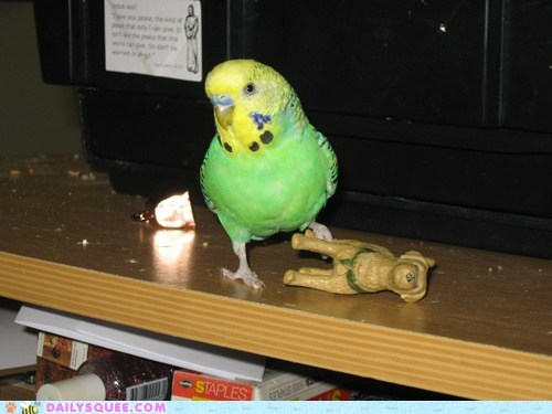 bird,budgie,fight,figurine,loser,reader squees,scores,versus,winner