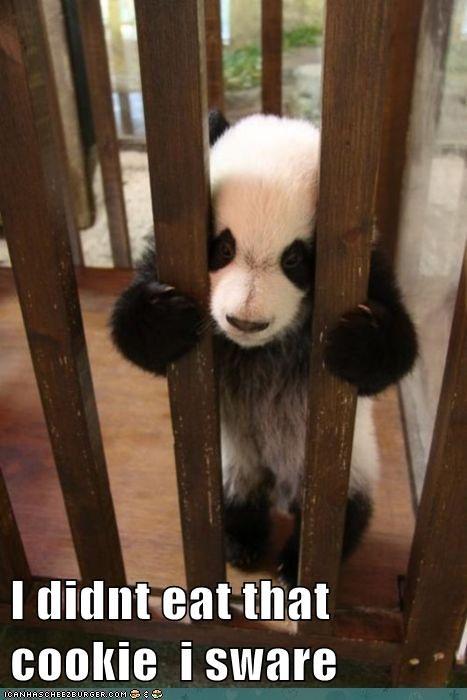 baby animals jail panda cage didnt eating cookies - 5772435200