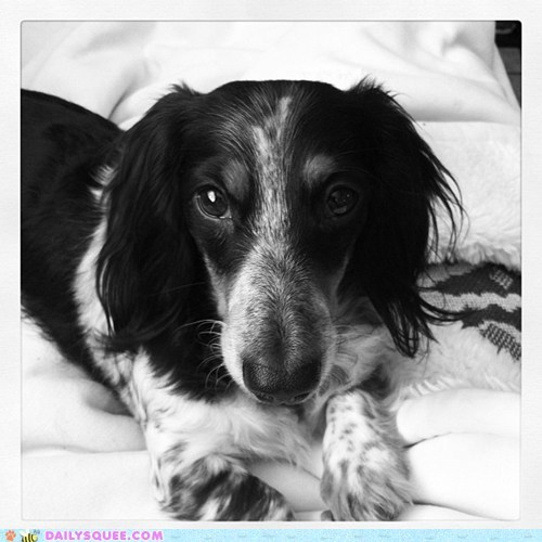 cannot dachshund dogs eyes irresistible puppy puppy eyes reader squees refuse Staring
