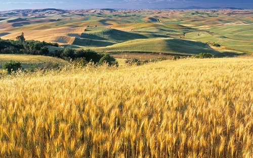 amber waves of grain getaways unknown location wallpaper wallpaper of the day - 5775230464