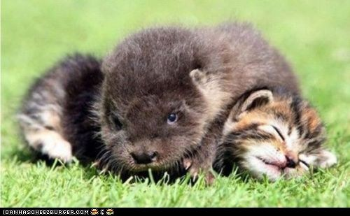 cyoot kitteh of teh day,Interspecies Love,on top,otters,sleeping