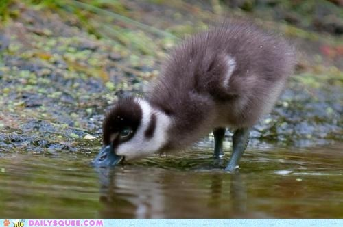 baby do want drink drinking gosling thirst thirsty tiny water - 5775399168