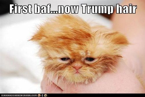 hair,toupee,donald trump,captions,bath,trump,Cats