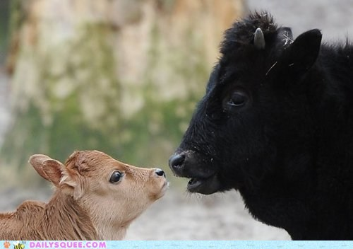 baby,bad hair day,calf,cow,cowlick,cowlicks,cows,hair,parent,pun,source