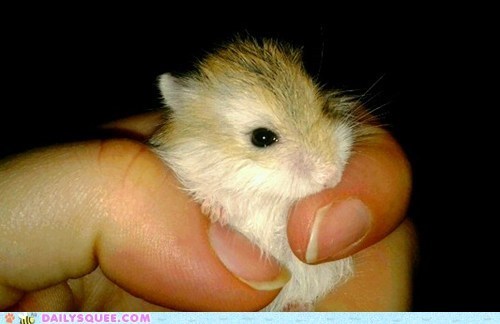 hamster hand reader squees rodent - 5783528960