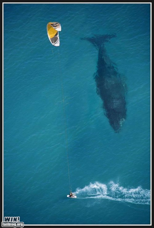 animals huge ocean parasailing photography whale - 5783558912