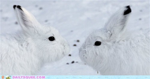 arctic hare bunnies bunny happy bunday hares pun rabbit rabbits seven snow white - 5784561408