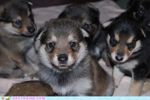 puppies puppy puppy eyes reader squees Staring too cute trick - 5785427456