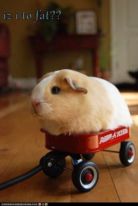 fat,guinea pig,guinea pigs,red wagon,too big,wagon