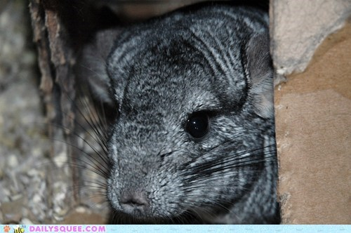 box chinchilla grey house reader squees rodent soft - 5788127488