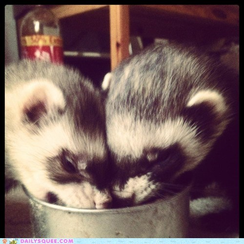 eat ferrets noms reader squees snack - 5791938816