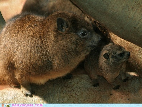baby,mother,rock hyrax,rock hyraxes,squee spree,winner