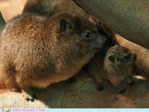 baby mother rock hyrax rock hyraxes squee spree winner - 5796567040