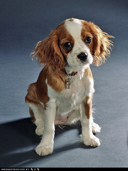 adorable cavalier king charles spaniel cute goggie ob teh week sweet face - 5796834560