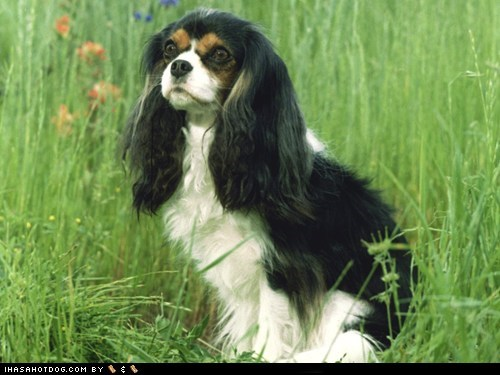 cavalier king charles spaniel goggie ob teh week grass outdoors - 5796845568